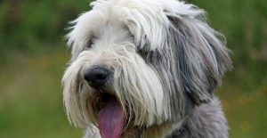 Bearded-Collie-feeding-and-diet