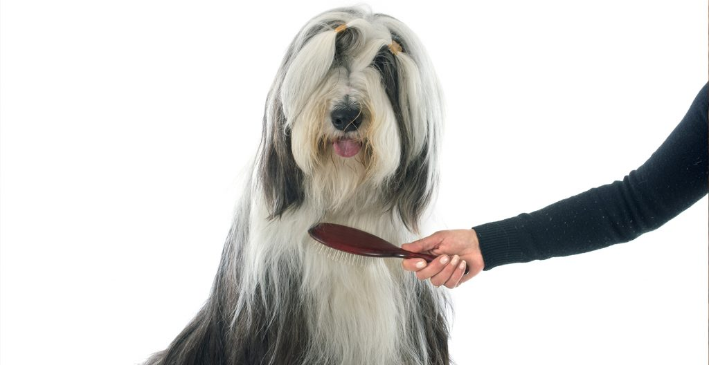 Bearded-Collie-grooming