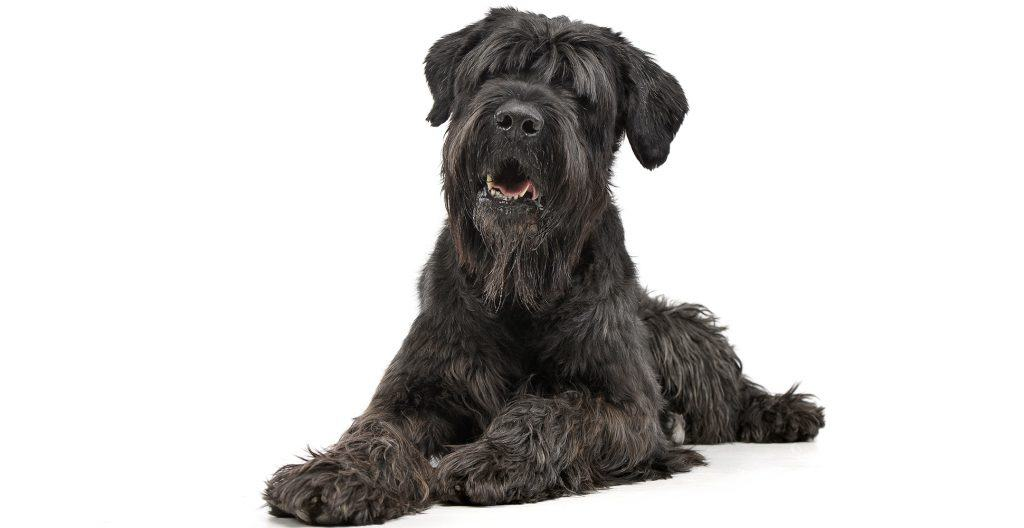 Black-russian-terrier-portrait