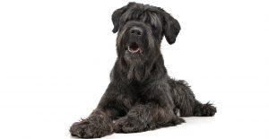 Black-russian-terrier-portrait