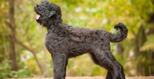 Black-russian-terrier-size