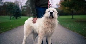 Great-Pyrenees-breed