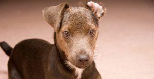 Patterdale-Terrier-breeded-guided-header