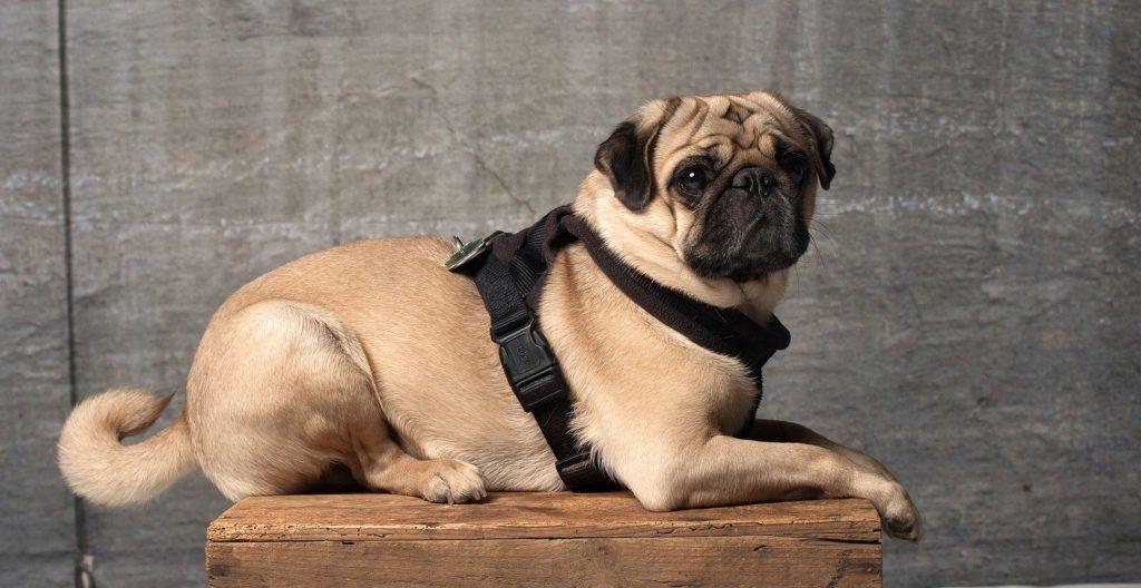 pug-training