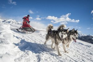 alaskan malamute sledding