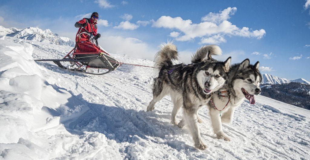 alaskan-malamute-sledding