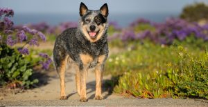 australian-cattle-dog-breed-guide-header