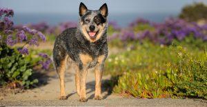 australian-cattle-dog-breed-guide-header