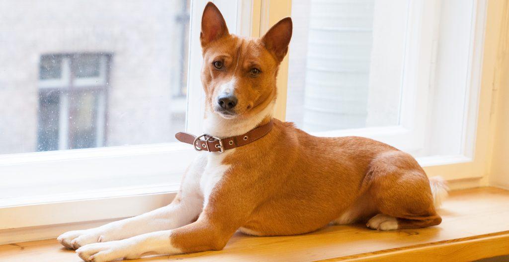 basenji-dog-breed-guide