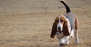 basset-hound-bred-guide-header