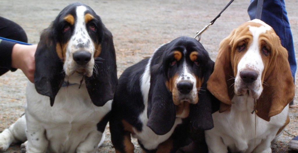 basset-hound-in-a-group-photo