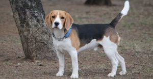 beagle-in-tan-white-and-black