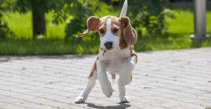 beagle-pup-playing