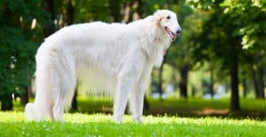 borzoi-full-body