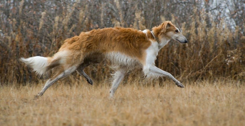 borzoi--running