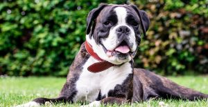boxer-breed-guide-header