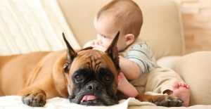 boxer-personality-and-temperament