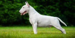 bull-terrier-full-body