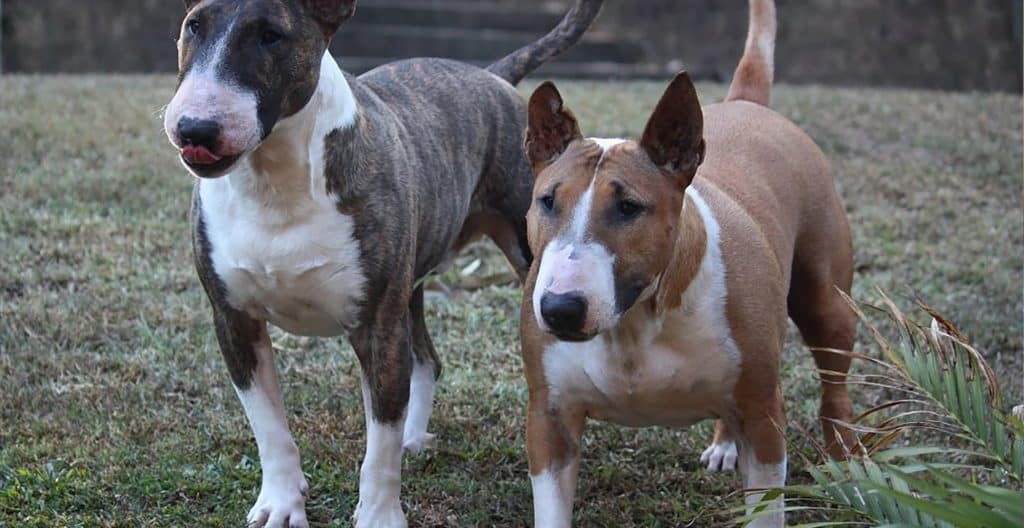 bull-terrier-fully-grown