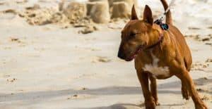 bull-terrier-training