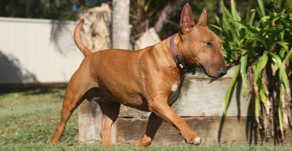 bull-terrier-walking