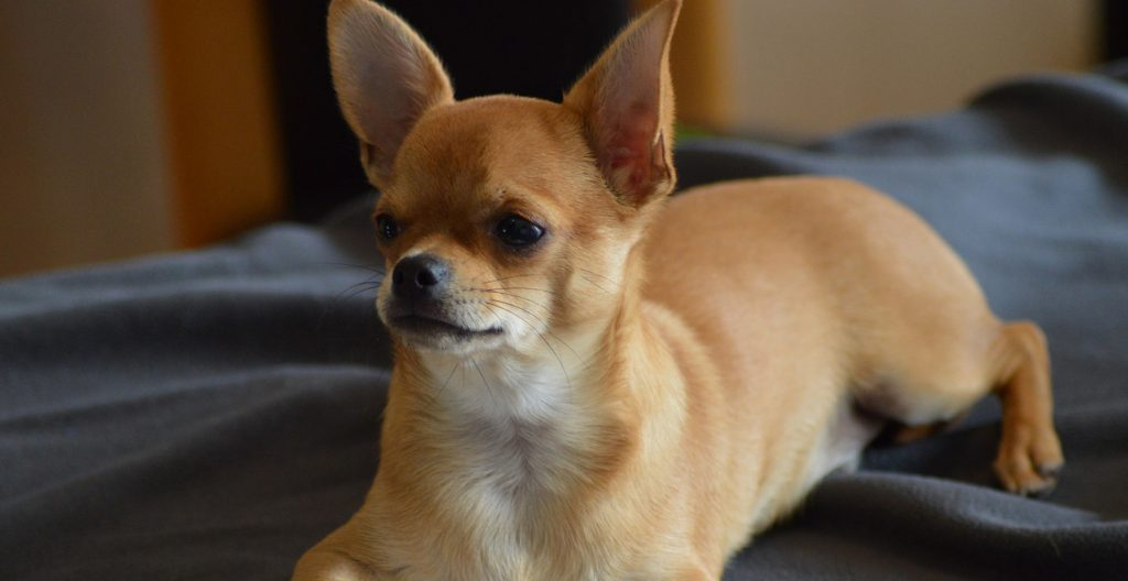 chihuahua-breed-guide
