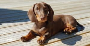 dachshund-brown-color