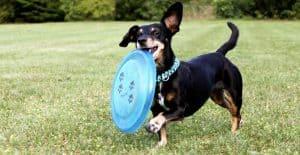 dachshund-frisbee
