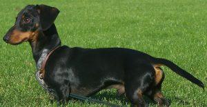 dachshund-full-body