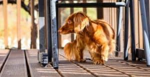 dachshund-furry