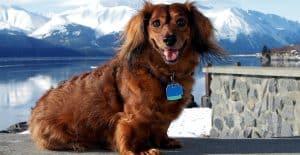 dachshund-portrait