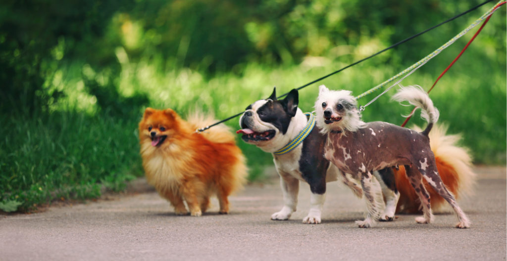 dogs-walking-on-leash