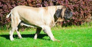 english-mastiff-on-green-grass