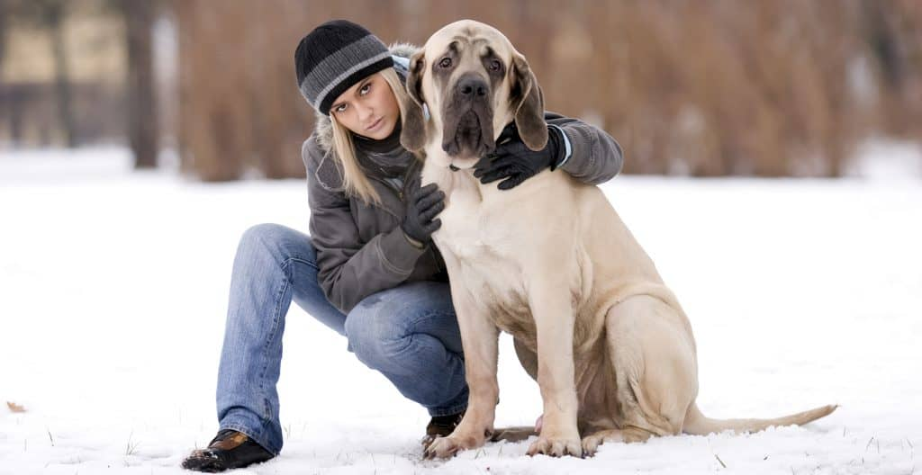 english-mastiff-with-her-girl
