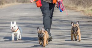 french-bulldog-group-walking