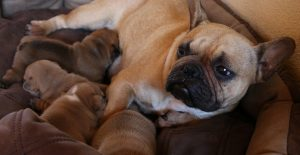 french-bulldog-mom-and-puppies