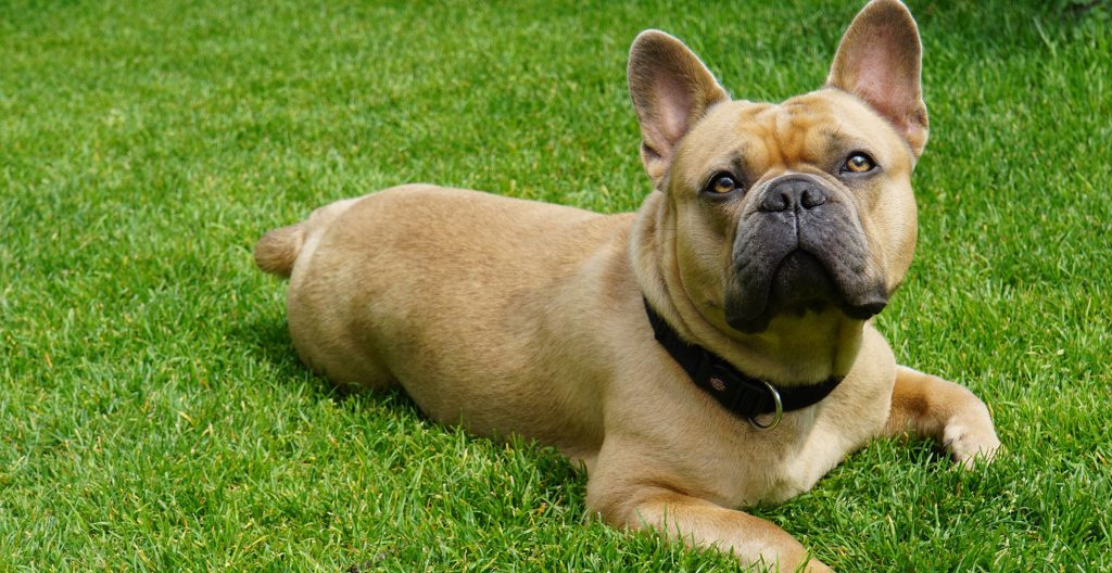 french-bulldog-on-the-grass
