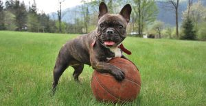 french-bulldog-playing-ball