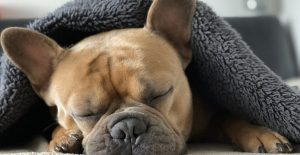 french-bulldog-sleeping-on-the-couch