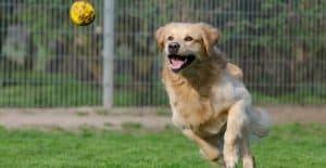 golden-retriever-catching-ball