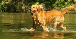 golden-retriever-in-the-water