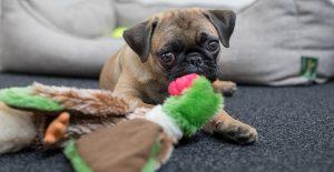pug-playing