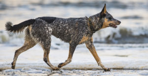 BLUE-HEELER-FULL-BODY