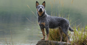 BLUE-HEELER-ON-THE-LAKE