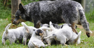 BLUE-HEELER-WITH-PUPPIES