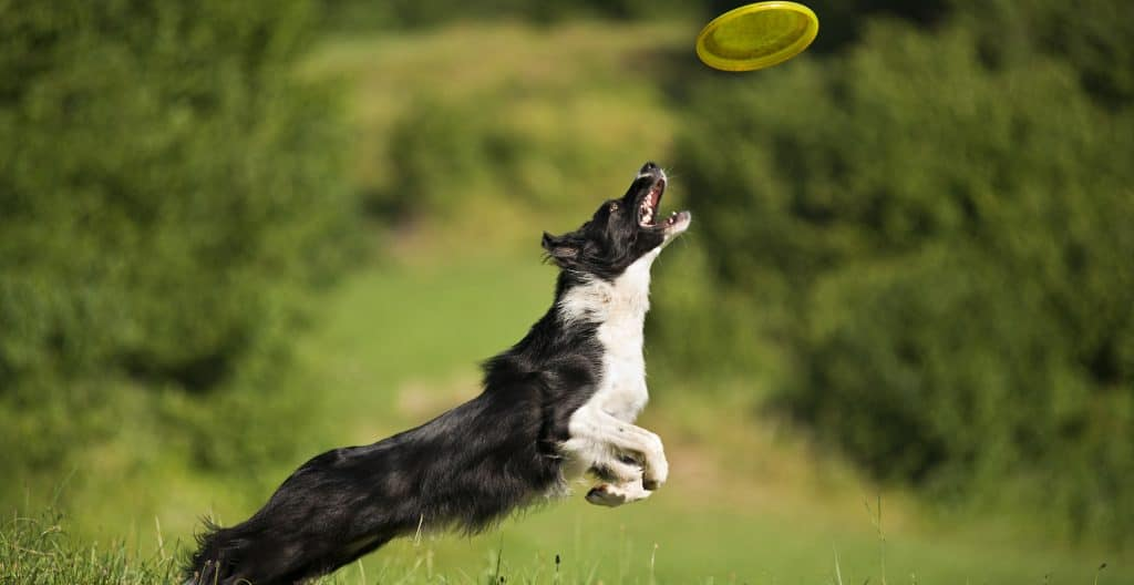 BORDER-COLLIE-EXERCISE