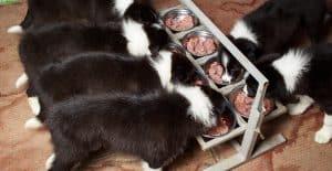 BORDER-COLLIE-PUPPIES-FEEDING