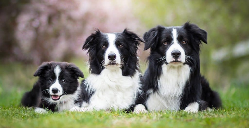 BORDER-COLLIE-SIZE