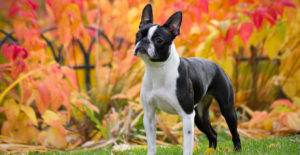 Boston-terrier-full-body-portrait