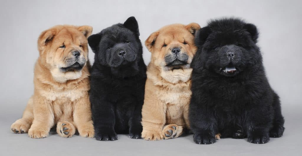 CHOWCHOW-GROUP-PORTRAIT